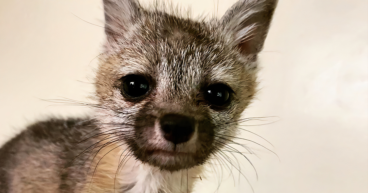 Tempe Family Saves a Baby Fox That Followed Their Dog Home