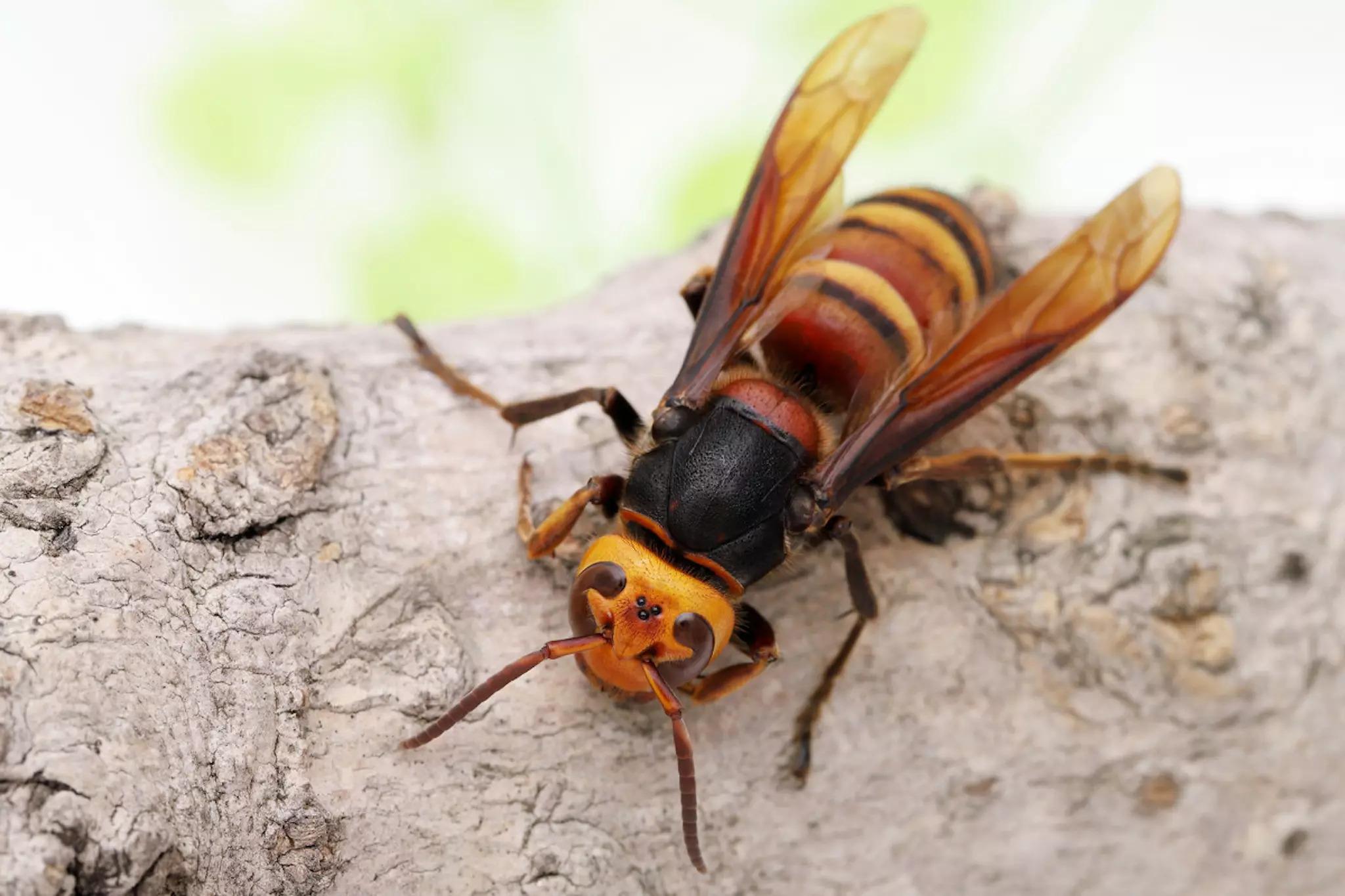 Asian giant hornet (dubbed the murder hornet)