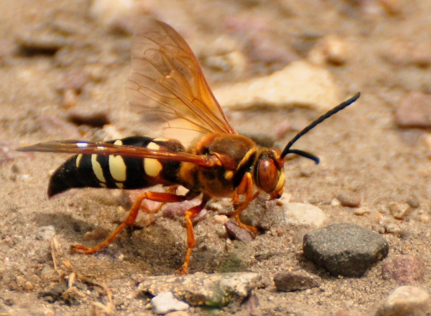 A cicada-killer wasp up close