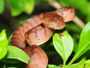 the invasive brown tree snake on a branch