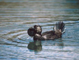 Ripper the Talking Duck